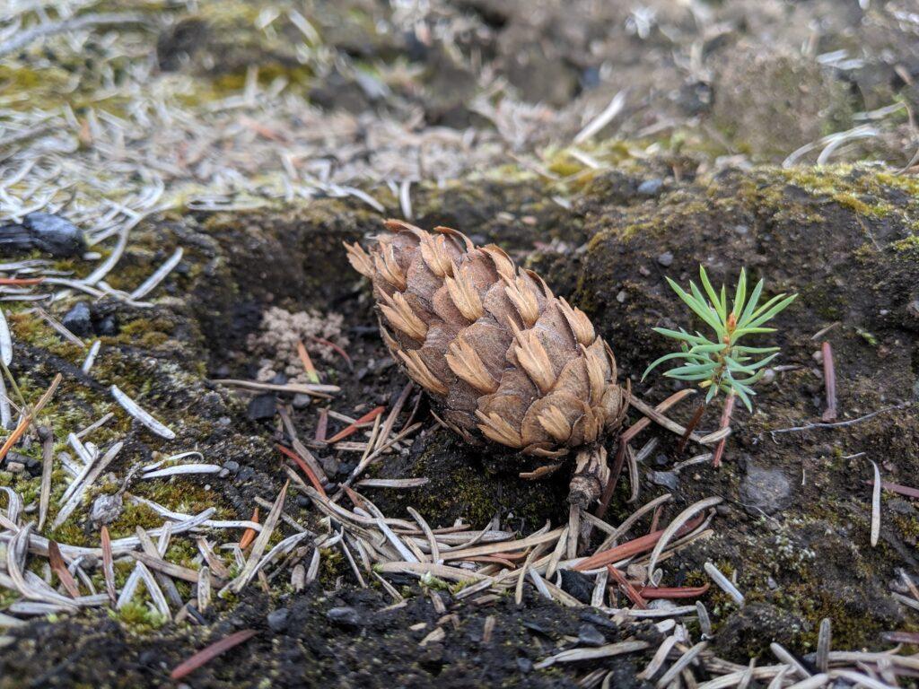 Douglas-fir cone and germinant