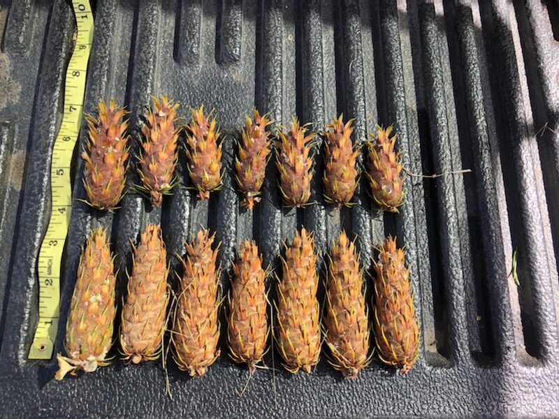 Douglas fir cones